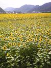 Sun_flower2